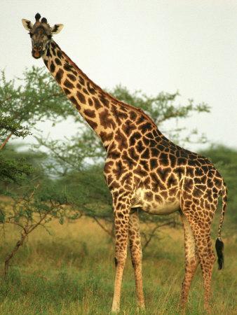 Giraffe, Ngorongoro Crater, Africa