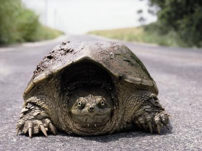 Alligator Snapping Turtle in the Road, Oklahoma