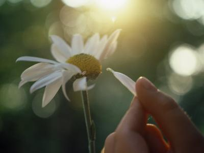 Person's Hand Pulling Petals off Daisy