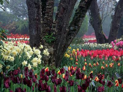 Tulips in Display Garden, Mt. Vernon, Laconner, WA