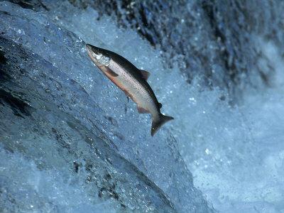 Red Salmon Swimming Upstream, Katmai, AK