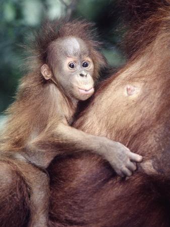Sumatran Baby Orangutan, Pongo Pygmaeus, Indonesia