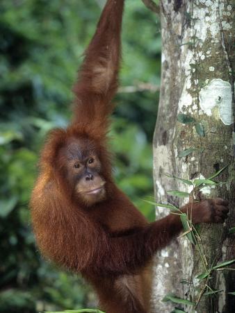 Adolescent Sumatran Orangutan, Indonesia