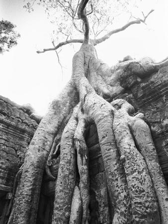 Tree Ta Prohm, Angkor, Cambodia