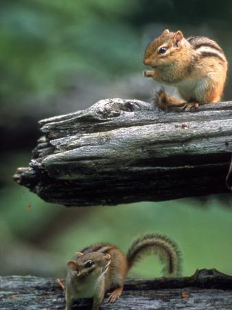Two Eastern Chipmunks