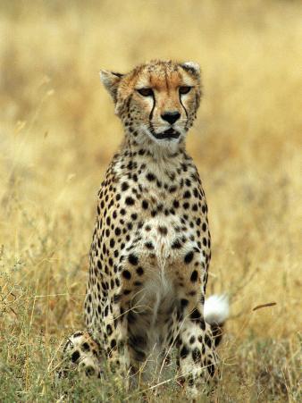 Cheetah, Ngorongoro Crater, Africa