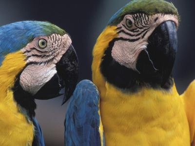 Parrots Talking to Each Other