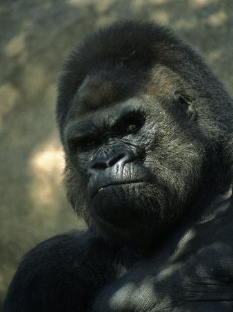 Gorilla in San Diego Wild Animal Park, CA
