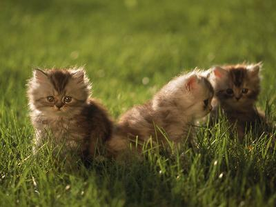 Persian Silver Patch Tabby Kittens Outdoors