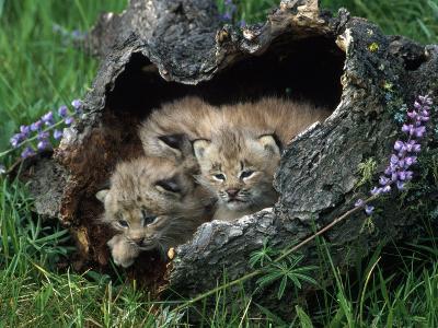 Lynx Kittens, Lynx Canadensis, MT