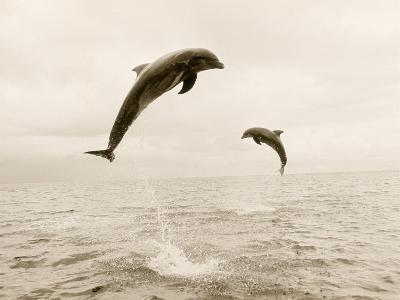 Bottlenose Dolphins Jumping Out of Water