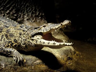 Cuban Crocodile, Bronx Zoo, NY