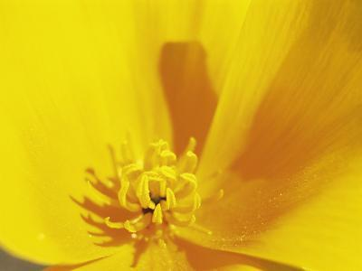 Mexican Gold Poppy, Sonoran Desert, AZ
