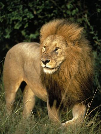 Lion, Masai Mara Game Resv, Kenya, Africa