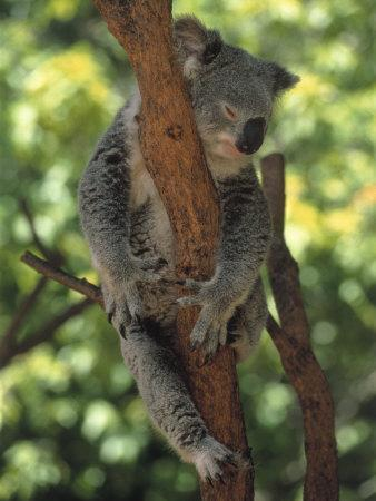Koala Sleeping in a Tree, Australia