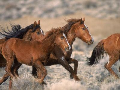 Wild Horses Running Through Desert, CA