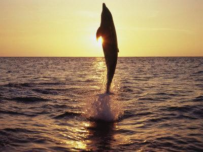 Dolphin Jumping from Water