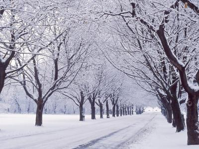 Maple Tree Grove in Winter, One of Four Seasons