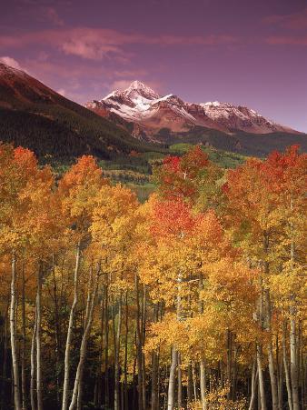 Autumn Aspen Colors, Mt. Wilson, San Juan Nf, CO