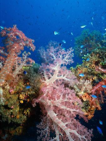 Soft Coral, Truck Lagoon, Micronesia