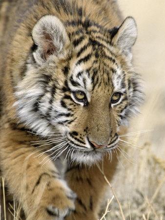 Siberian Tiger Cub, Panthera Tigris Altaica