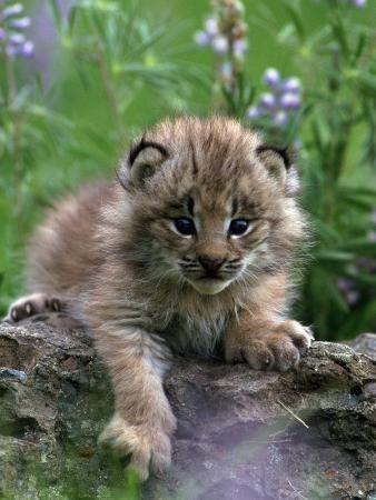 Lynx Kitten, Lynx Canadensis, MT
