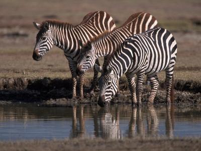 Burchell's Zebra, Equus Burchelli, Tanzania