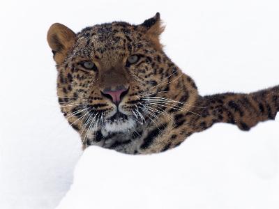 Amur Leopard in Snow, Panthera Pardus Orientalis