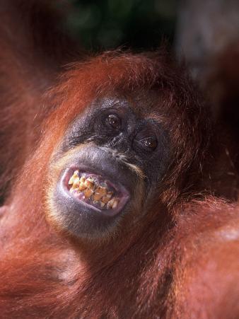 Sumatran Orangutan, Pongo Pygmaeus, Indonesia
