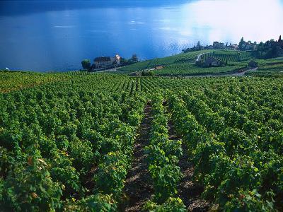 Grape Vineyards, Lake Geneva, Switzerland