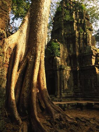 Angkor, Ta Prohm, 400-year-old Tree, Cambodia