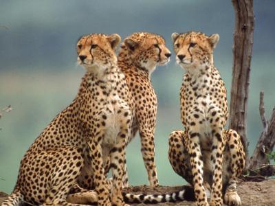 Africa, Cheetah in Kenya, Acinonyx Jubatus