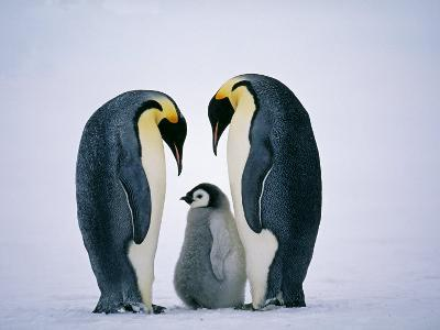 Emperor Penguins, Family, Antarctica