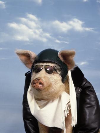 Pig Dressed As Pilot