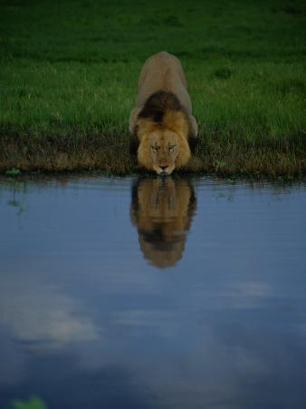 A Male Lion in His Prime Drinking from a Pool