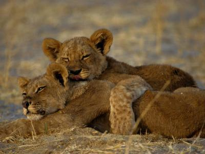 Two Lion Cubs Snuggle Together on the Ground