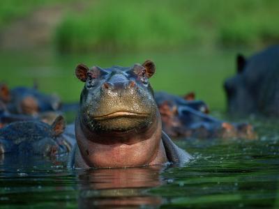 A Herd of Hippopotamuses