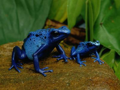 Two Sapphire-Hued Poison Dart Frogs