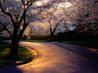 Sunset and Cherry Trees in Bloom