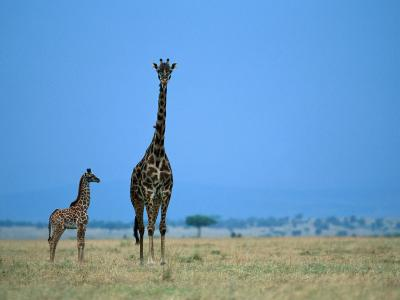 A Pair of Giraffes, Including a Juvenile, Stand at Attention