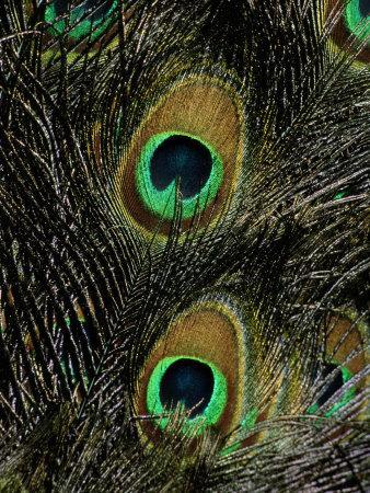 A Close View of the Eyes of Several Peacock Feathers