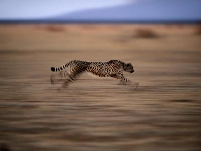 An African Cheetah Chases Prey on the Okavango Delta
