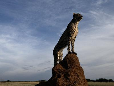 An African Cheetah Guards His Territory from the Top of a Large Termite Mound