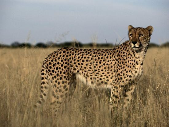 An African Cheetah Standing In A Field Of Tall Grass