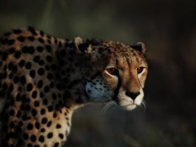 An African Cheetah Stares Intently at an Unseen Object