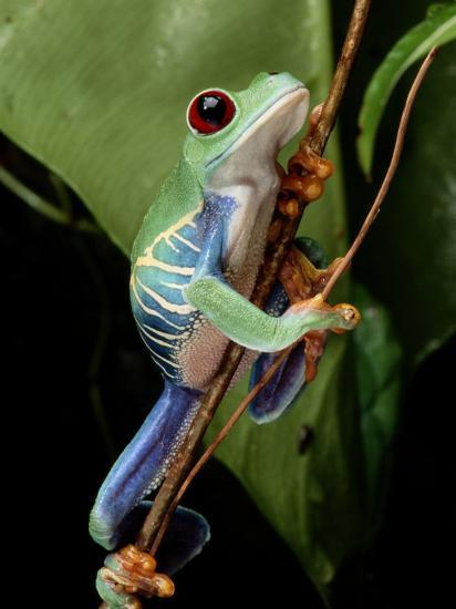 A Red Eyed Tree Frog Climbing A Vine Photographic Print By