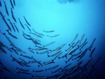 A School of Barracuda Fish Swim in a Circular Motion