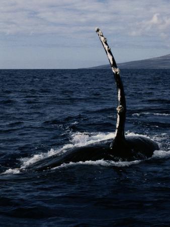 Humpback Whale off the Coast of Maui