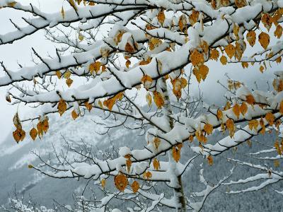 View of Snow-Laden Poplar Branches