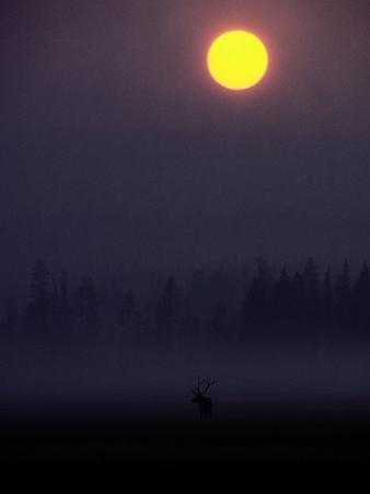 A Silhouetted Bull Elk
